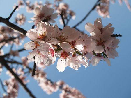 fleur de l'amandier sur un ciel bleu