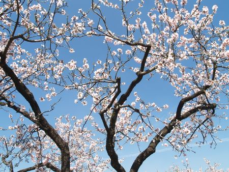 Plusieurs branches d'arbres d'amande avec des fleurs sur un ciel bleu clair  Banque d'images
