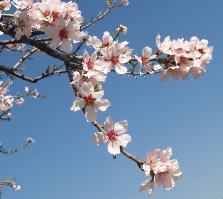 fleurs darbre damande