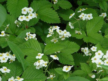 the glade: Glade of Strawberry Blossom Flowers