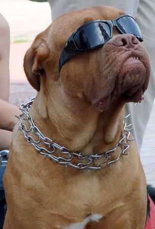 aloneness: Brown dog muzzle with sunglasses 05 Stock Photo