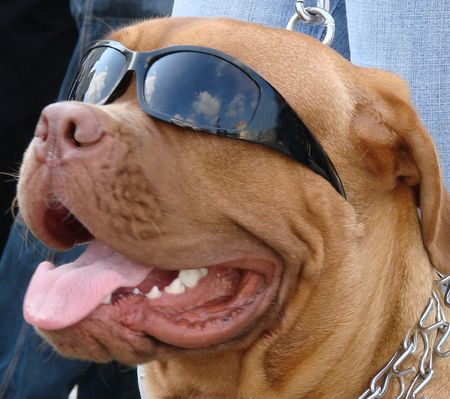 aloneness: Brown dog muzzle with sunglasses 08