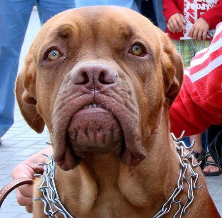 aloneness: Brown dog muzzle 03