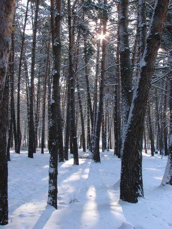 Winter snowy road thru morning pine wood Stock Photo - 737638