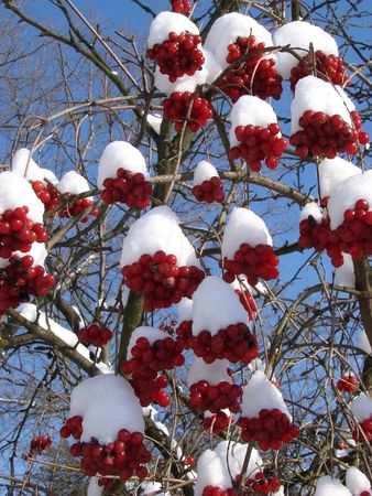 Snowy Snowball-tree Berry Bunch photo