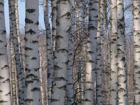 gash: Birch countless tree alley