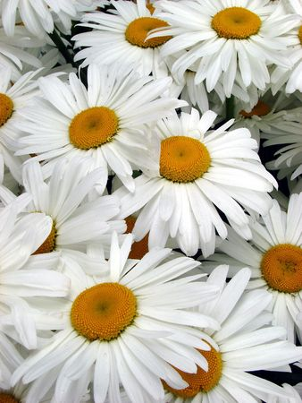 A lot of big white daisy wheels bouquet Stock Photo - 1149689