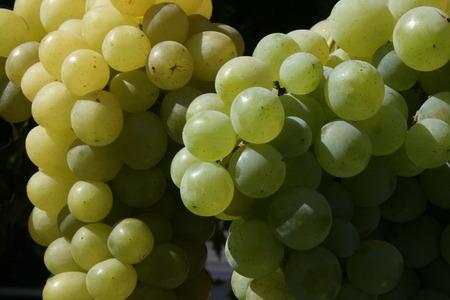 descriptive: Bunch of mature grapes