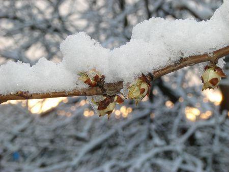dissolved: Coperti di neve sciolta il rognone di piante di castagno