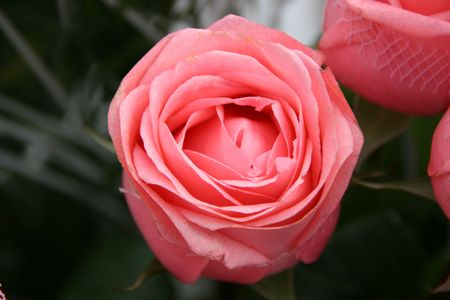 aloneness: detailed close-up of vivid fresh pink rose flower Stock Photo