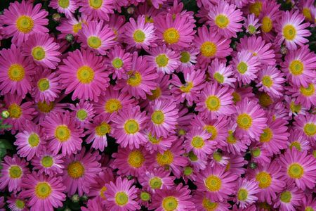mass flowering: detailed close-up background of vivid fresh purple flowers Stock Photo