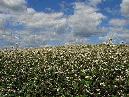buckwheat field in white blossoming uder cloudy deep blue sky Stock Photo - 2255063