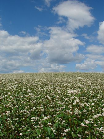 buckwheat field in white blossoming uder cloudy deep blue sky photo