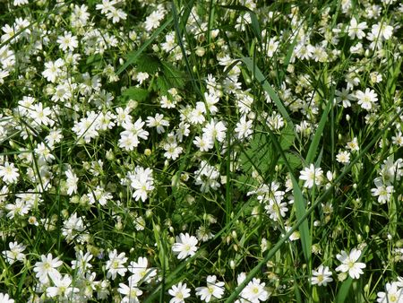 green spring meadow background with white flowers photo