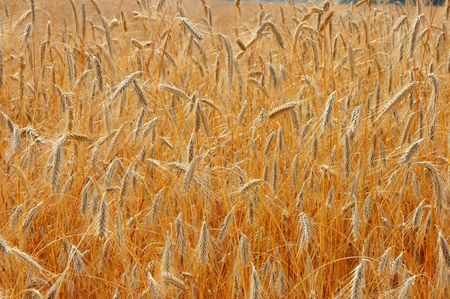 Wide yellow wheat field textured background Stock Photo - 3388413