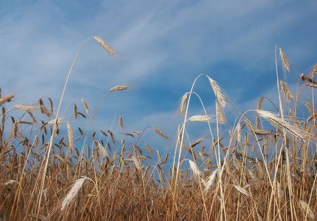 Deep blue sky over yellow wheat field Stock Photo - 3388408