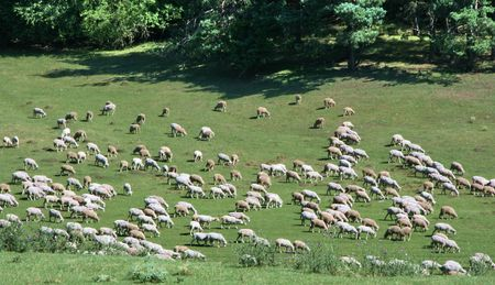 Herd of sheeps on green meadow photo