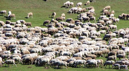 Herd of sheeps on green meadow Stock Photo - 3388411