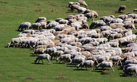 Herd of sheeps on green meadow Stock Photo - 3388414