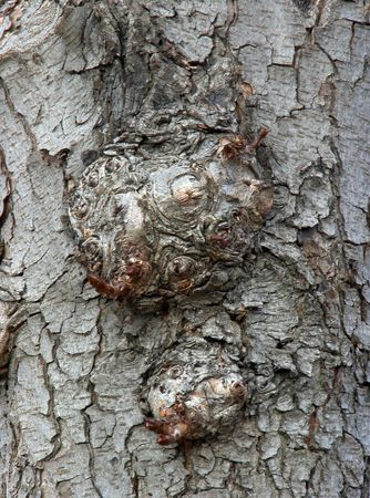 gash: old bark surface background with knobs  Stock Photo