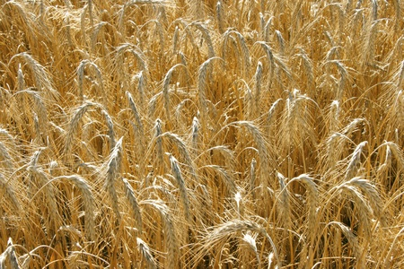 Wide yellow wheat field textured background Stock Photo