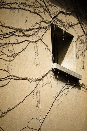 without window: Old window in shadow with dried  branch of ivy without foliage