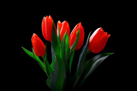 bloomy: Red tulips isolated on black