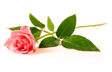 A single rose Stock Photo