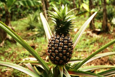 thrive: Pineapple Plantation
