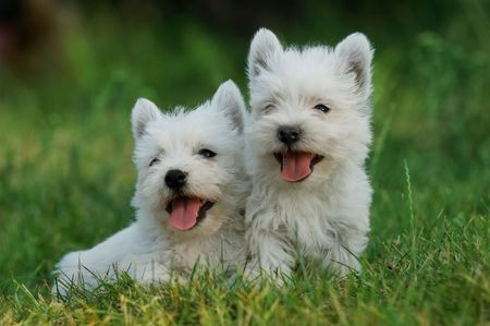 Puppies West highland white terrier Stock Photo