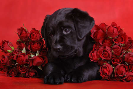 Puppy and roses photo