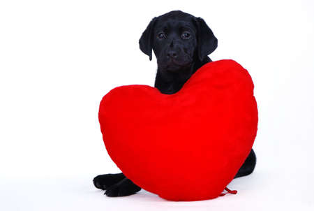 valentines dog: Puppy with heart Stock Photo