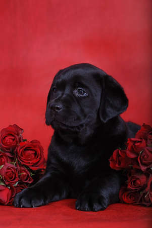 Puppy with roses photo