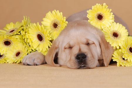 dog days: Puupy con flores amarillas