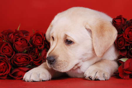 Labrador puppy with roses photo