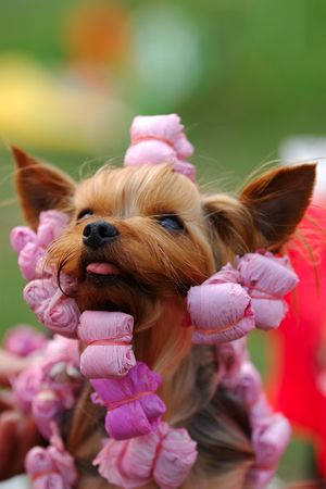 Yorkshire terrier portrait in curl-papers Stock Photo
