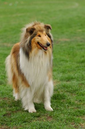 Collie portrait -watching dog portrait