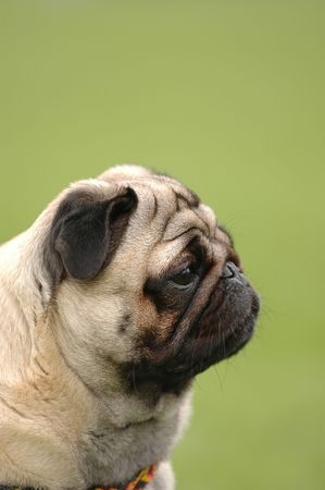 Dog - pug portrait with sad eyes