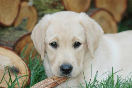 Little labrador puppy