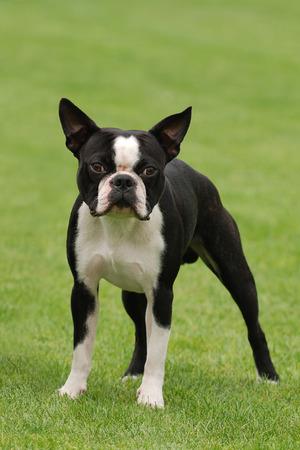 boston: Boston terrier