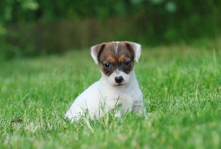 Little Jack Russell Terrier puppy