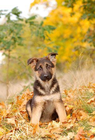 shephard: Tedesco Shephard Puppy  Archivio Fotografico
