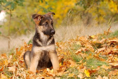 shephard: German Shephard Puppy