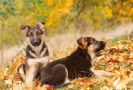 German Shephard Puppies Stock Photo