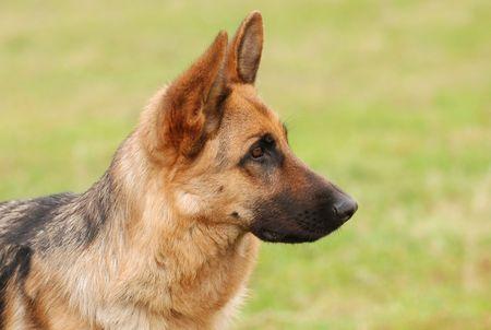 shephard: Tedesco Shephard Dog