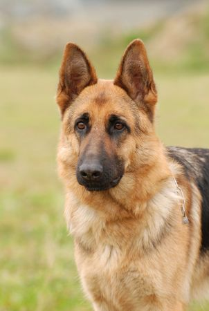 shephard: German Shephard Dog
