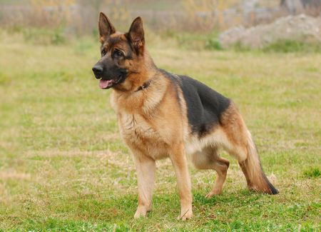 german shepherd on the grass: German Shephard Dog
