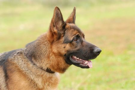 alsation: German Shephard Dog