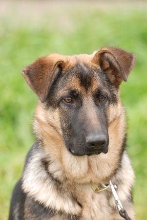 shephard: Shephard tedesco cucciolo