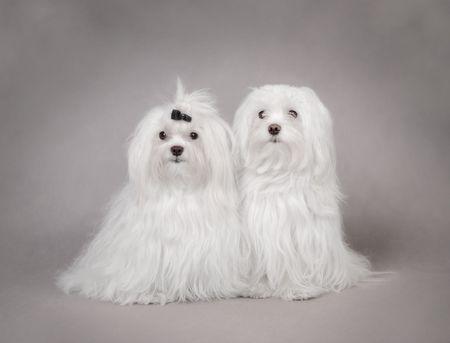 Two Maltese Dog , couple Stock Photo